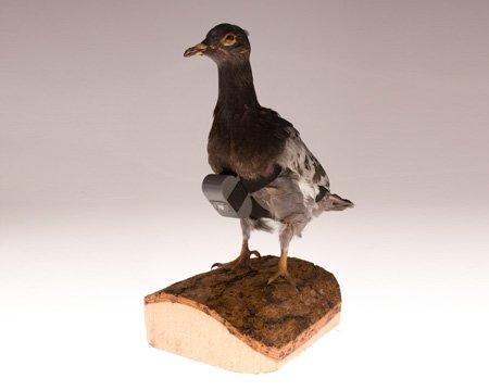 a-carrier-pigeon